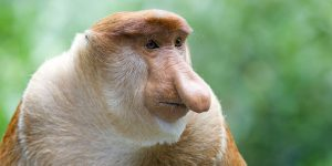 Proboscis Monkey & Firefly Tour